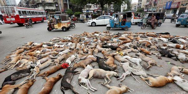 Φρίκη στο Πακιστάν – Σκότωσαν με φόλα 700 σκυλιά - Ειδήσεις Pancreta