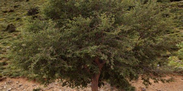 Το MAIX για την αμπελιτσιά – Το απειλούμενο ενδημικό δέντρο της Κρήτης (βίντεο) - Ειδήσεις Pancreta