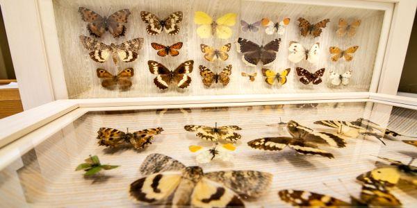 Συλλογή πεταλούδων στο Μουσείο Φυσική Ιστορίας Κρήτης - Πανεπιστήμιο Κρήτης - Ειδήσεις Pancreta