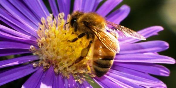 Μέλισσες σε αφανισμό, άνθρωπος σε κίνδυνο